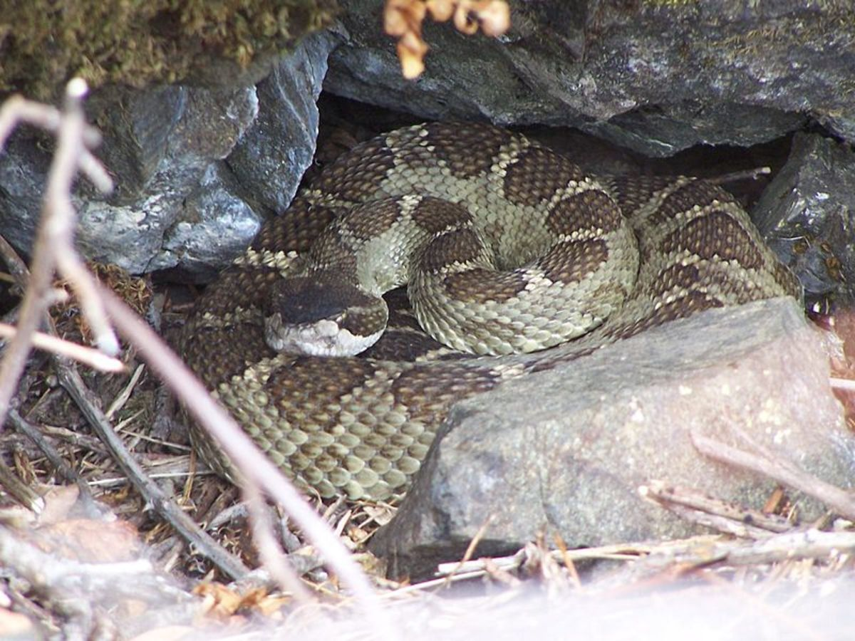 Timber Rattlesnake found in natural habitat.