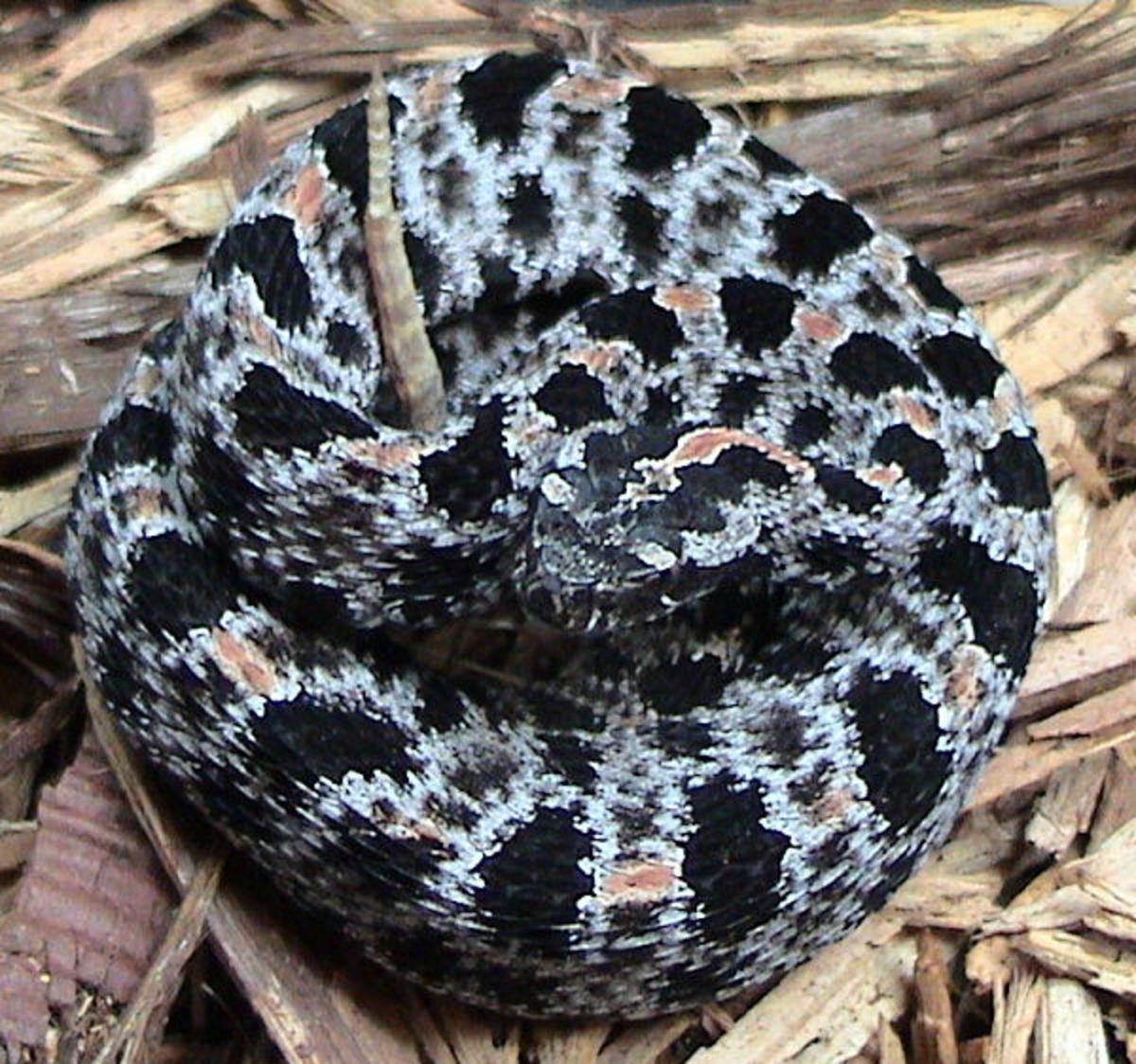 Western Pygmy Rattlesnake, Sistrurus miliarius streckeri