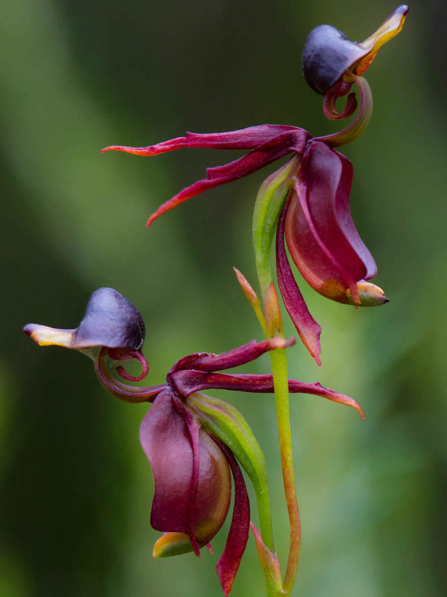 Flying duck orchids are appropriately named, as you can see.  They are native to the Australian wilderness but are on Australia's vulnerable plant list, due mostly to habitat destruction.