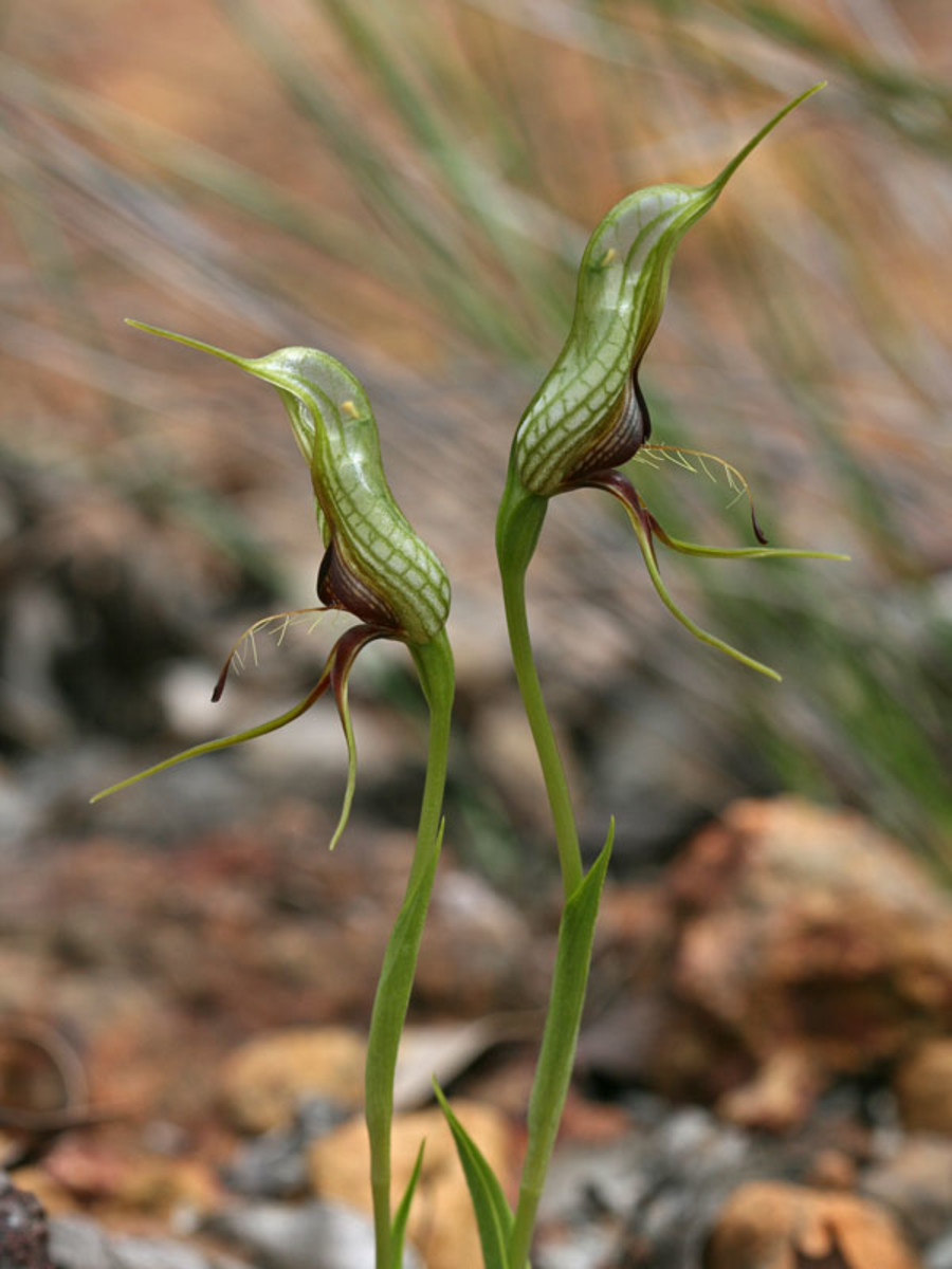 There are various species of bird orchids throughout most of the southwest part of Australia that are very similar in appearance, distinguished mainly by their size.