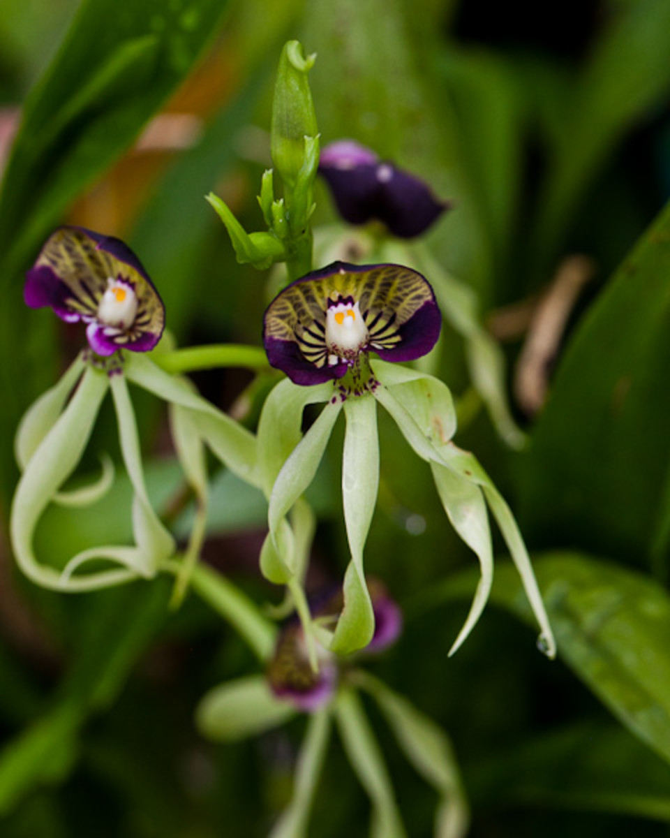 The green squid orchid, also referred to as Encyclia Cochlea, is native to Central America and the Caribbean.