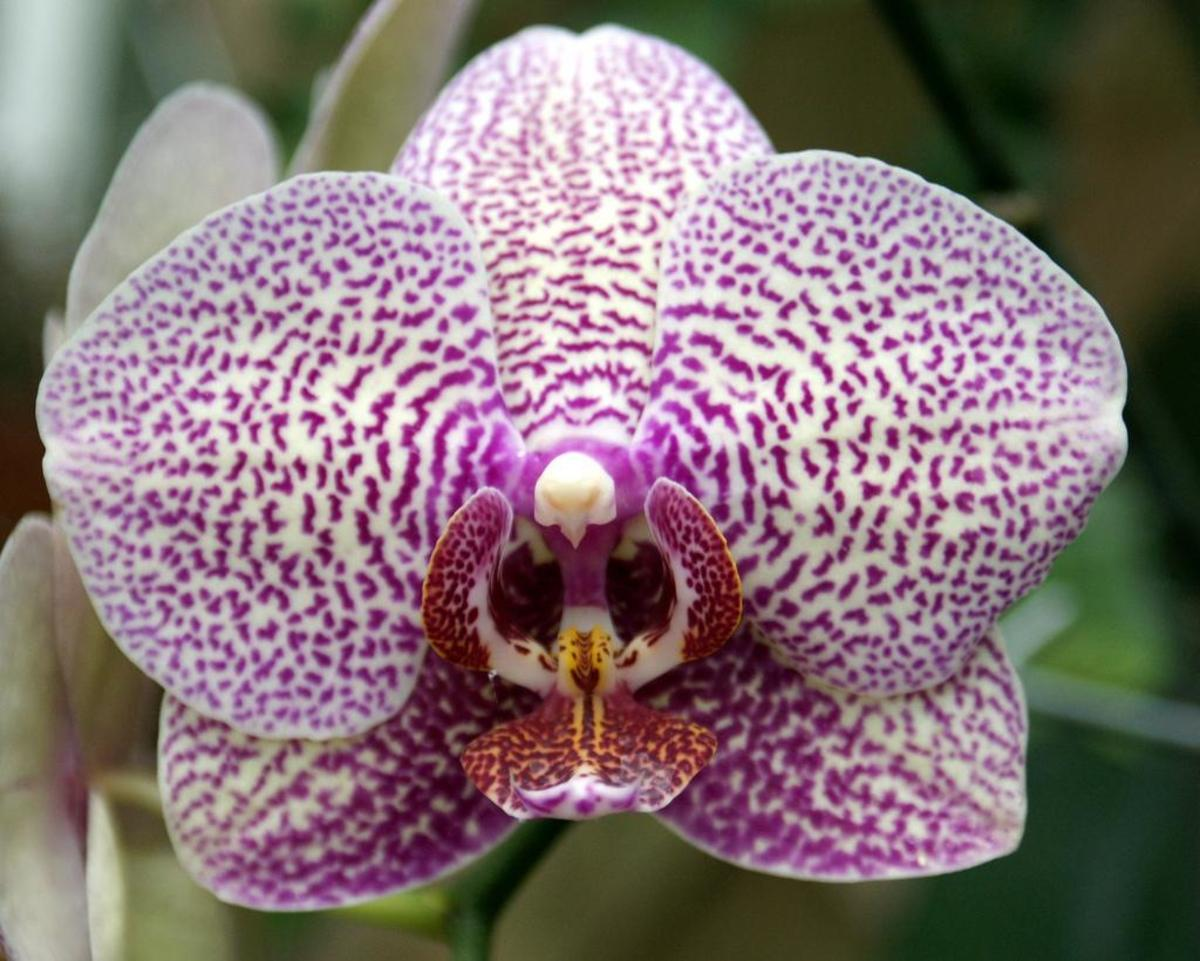 The moth orchid is a very popular houseplant, and not as difficult to grow as many of the other flowers outlined within this article.
