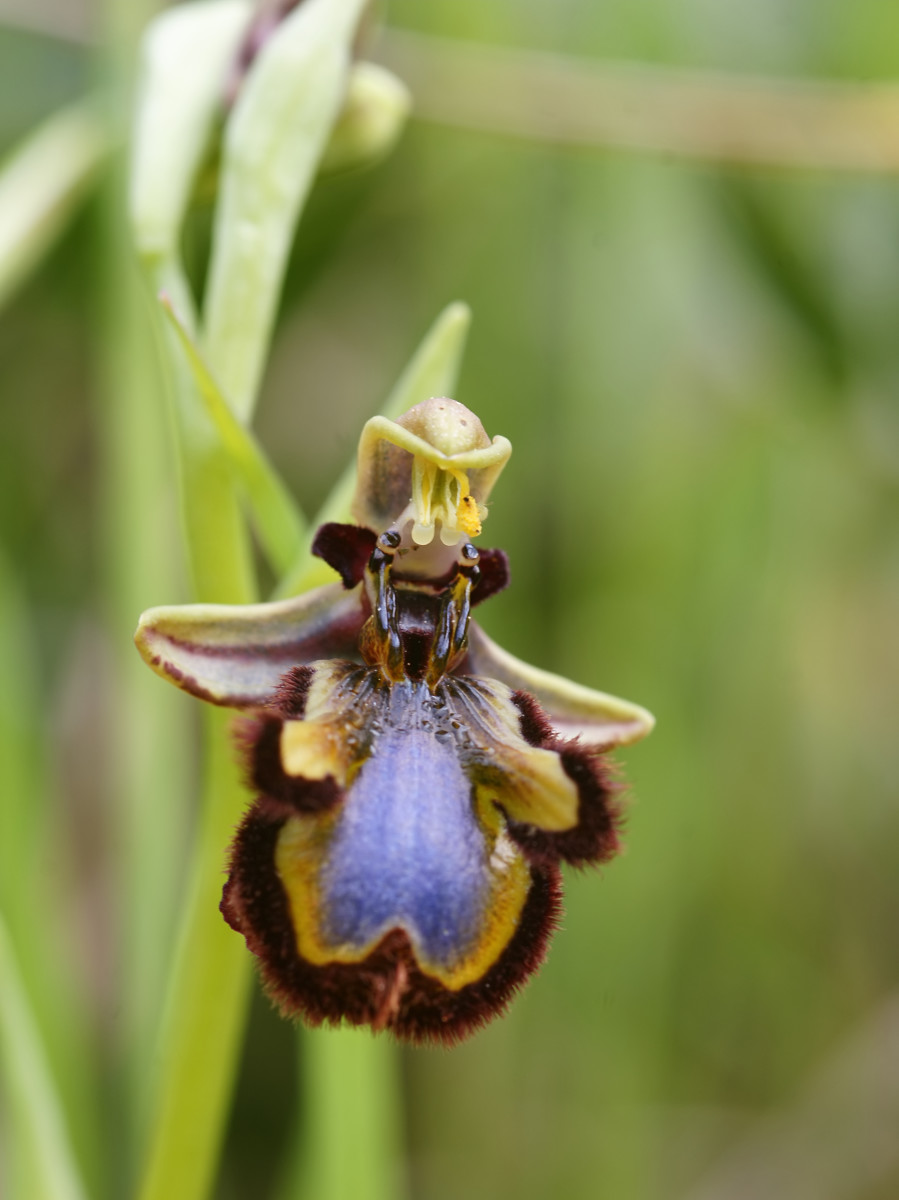 Yes, it looks just like a bee - this is a bee orchid.