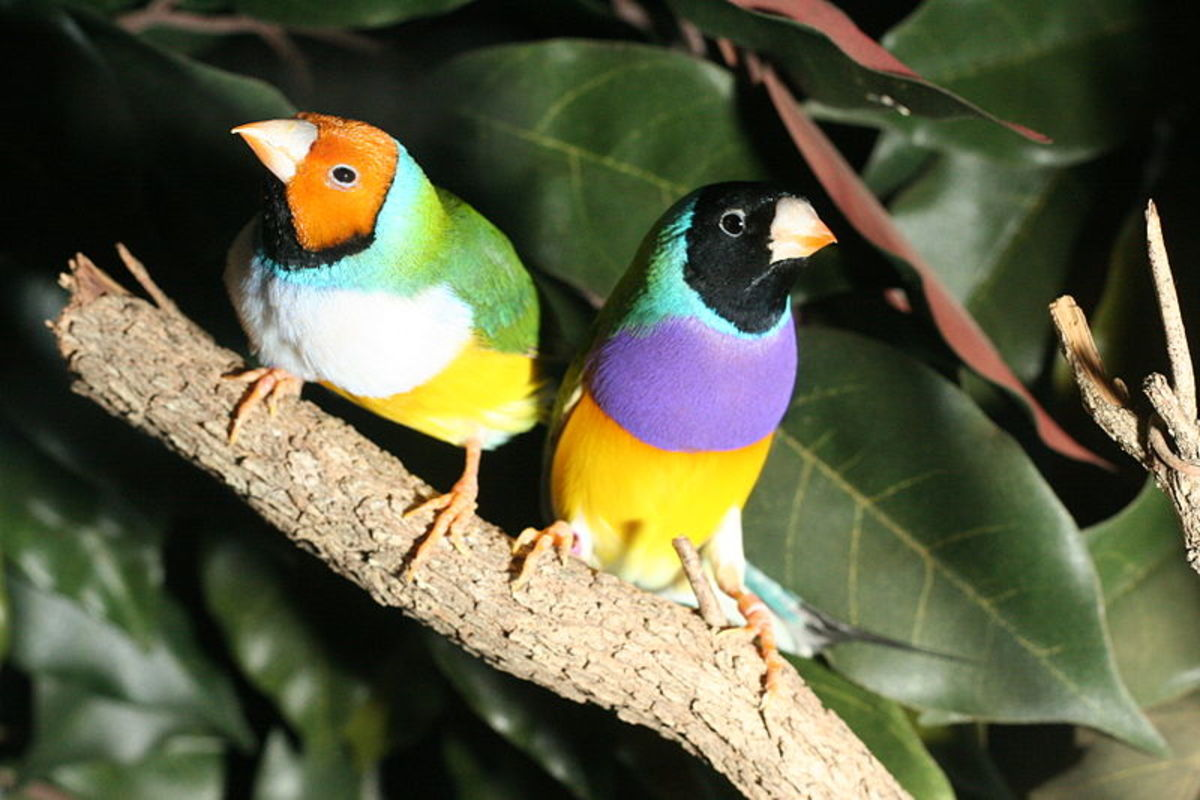 White-breasted Yellow-headed and Black-headed male Gouldian Finches