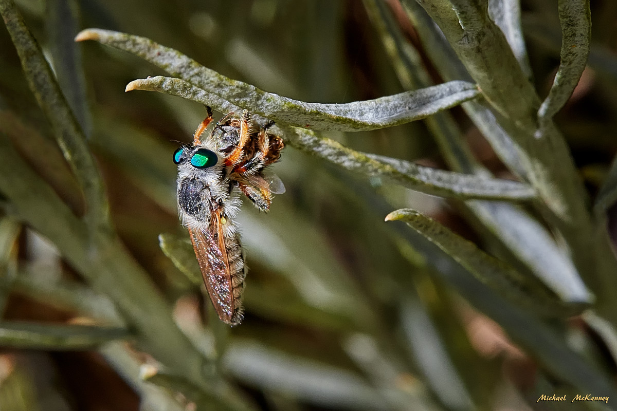 A robber fly in living color, preparing its lunch (an unidentified bug).