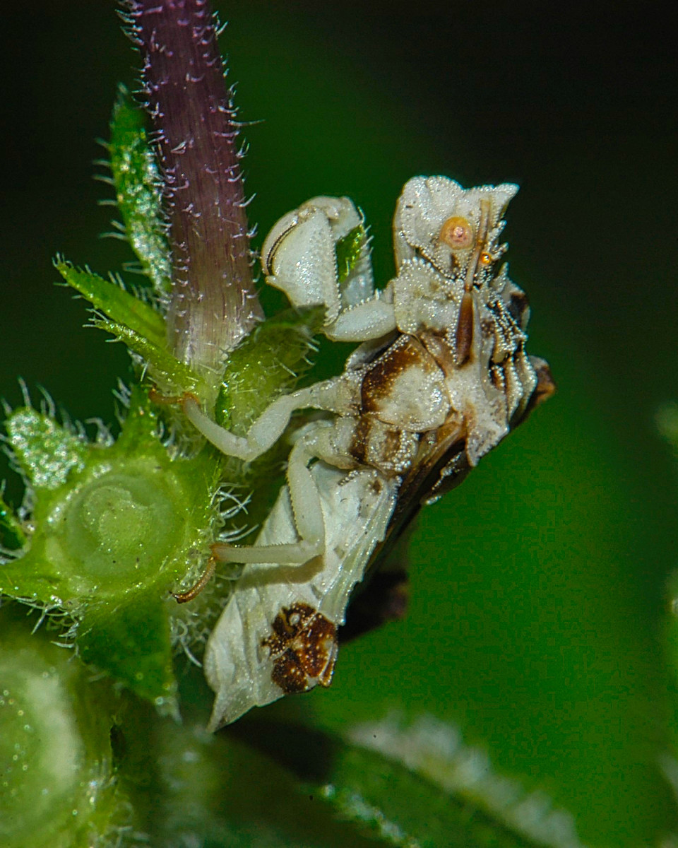 This is a jagged ambush bug, and they are called that because they are very patient and simply wait for their prey to come within striking distance.  Maybe they wait because they realize they are very slow flyers and can be outrun by their prey.