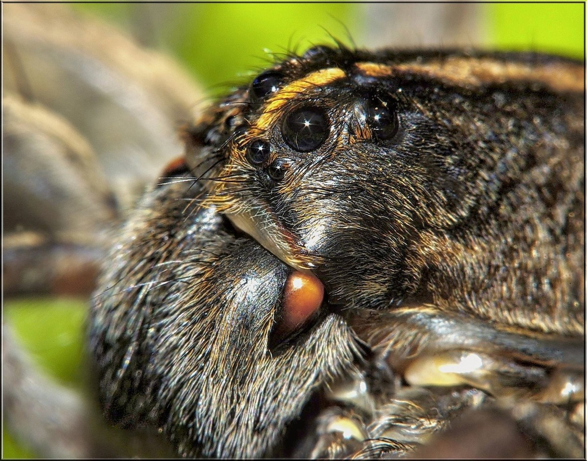 This rabid wolf spider has eight eyes.