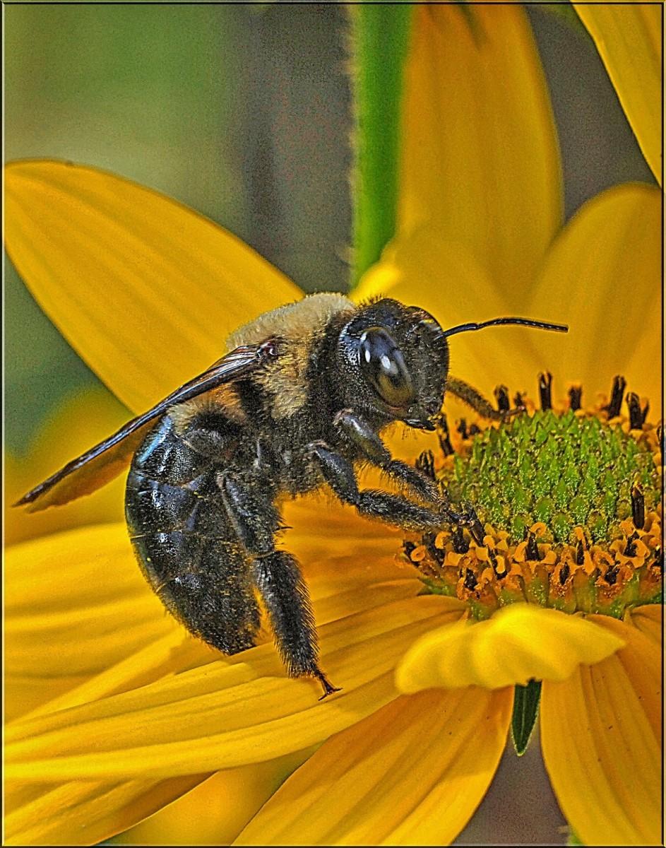 A bumblebee has got very serious eyes!