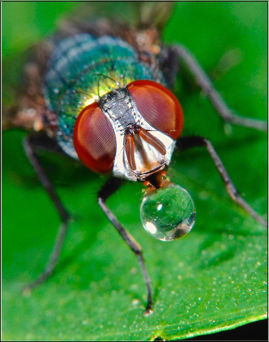 This is a green bottle fly regurgitating a drop of digestive liquid to dissolve his food.  Creepy, so  just go ahead and grab a fly swatter.  He's only going to live two to three weeks anyway and is really irritating to humans.