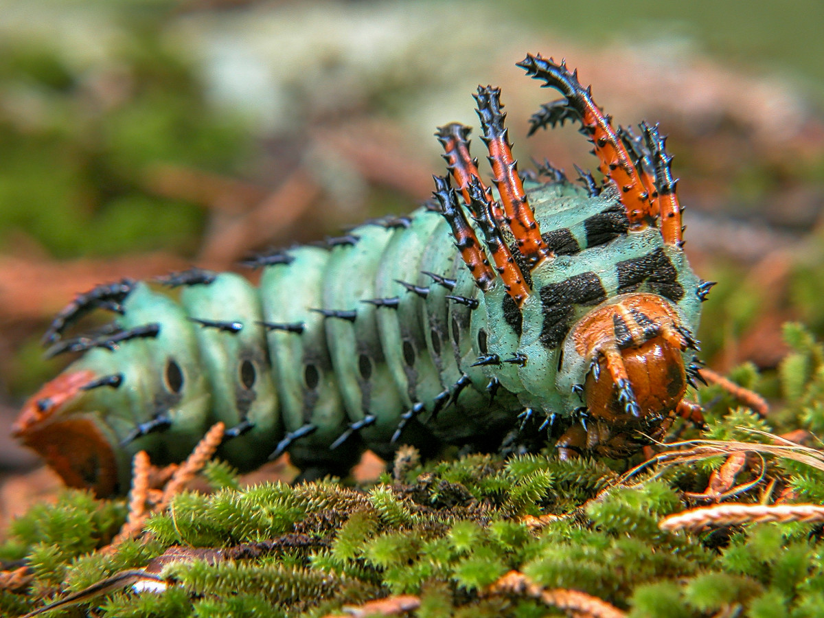 This is a hickory horned devil caterpillar and you absolutely DON'T want to be afraid of him, as he may be ugly but he is harmless.  He is going to turn into a large, colorful regal (or royal walnut) moth.