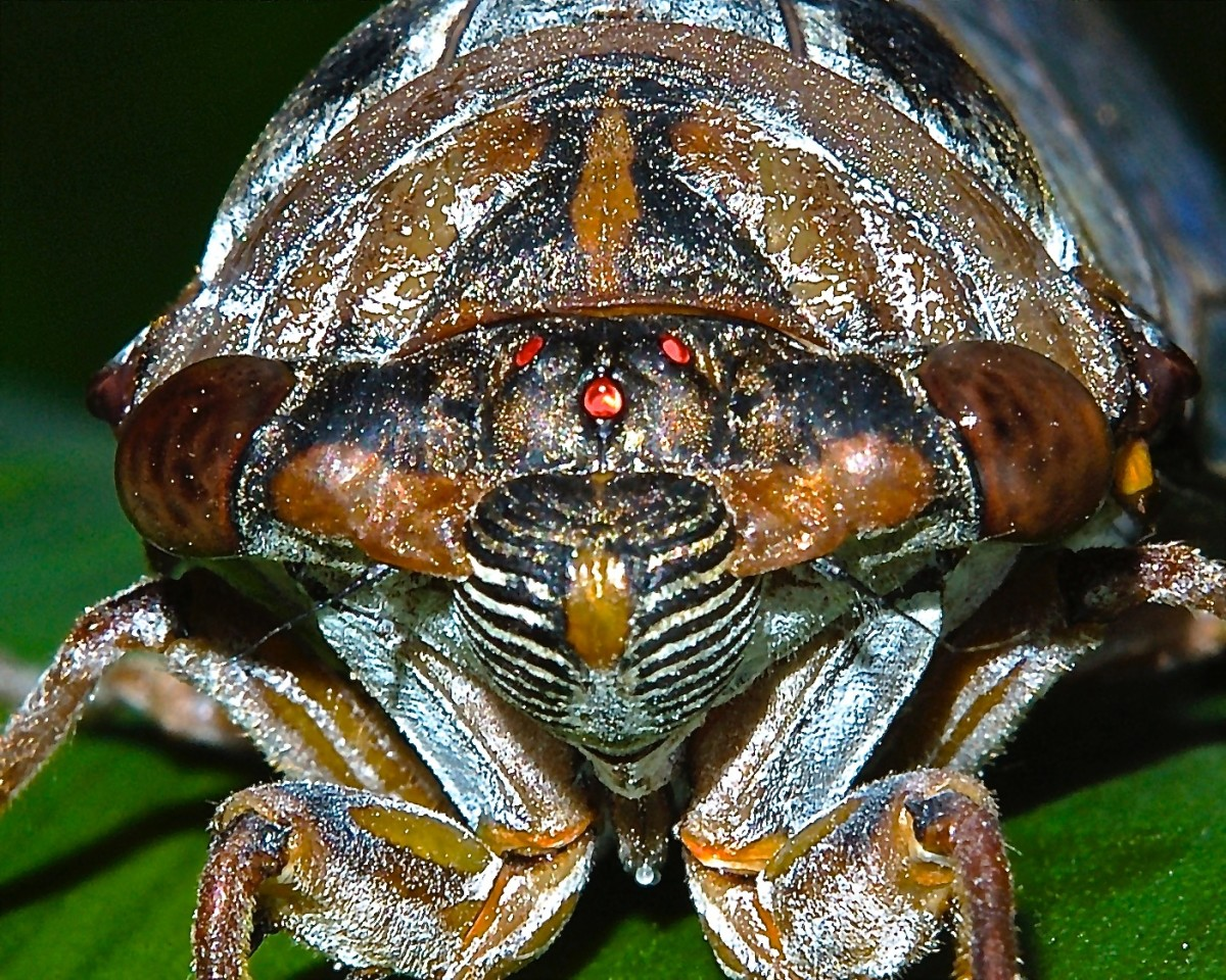 "This ugly guy is referred to as a ""periodical"" cicada.  His red eyes help to identify him as a periodical cicada, as opposed to a dog-day cicada. They are relatively harmless and only live about five weeks above ground."