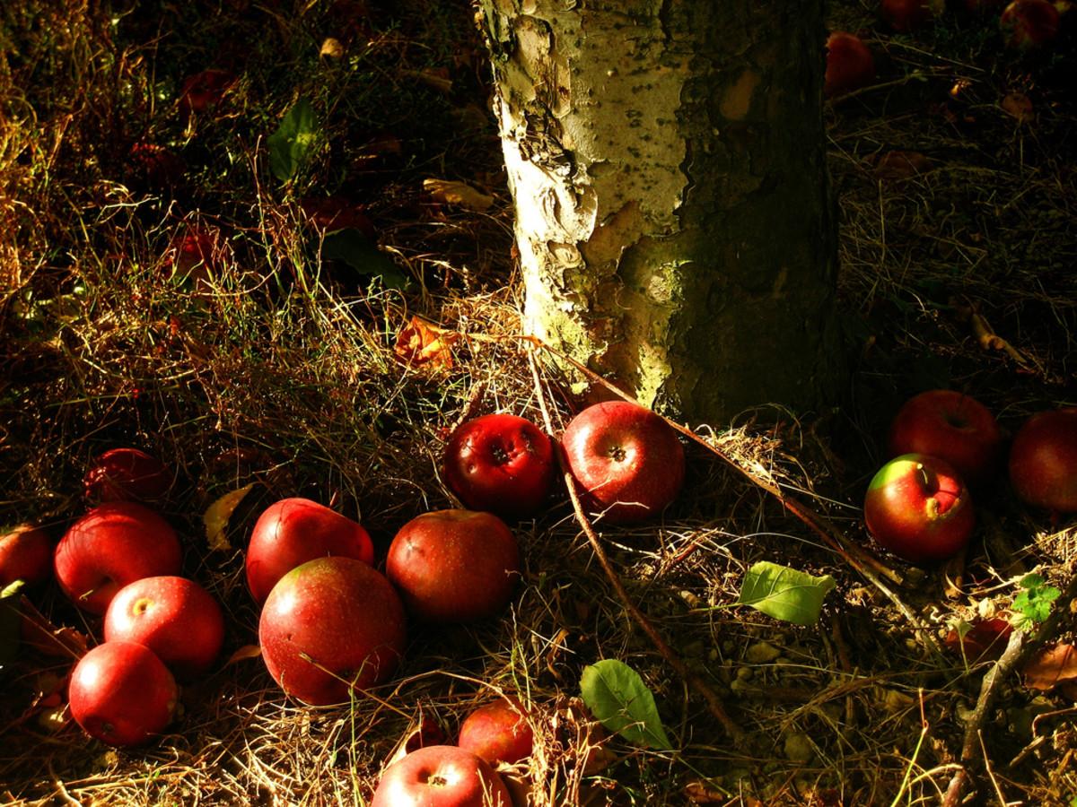 Fallen apples in autumn