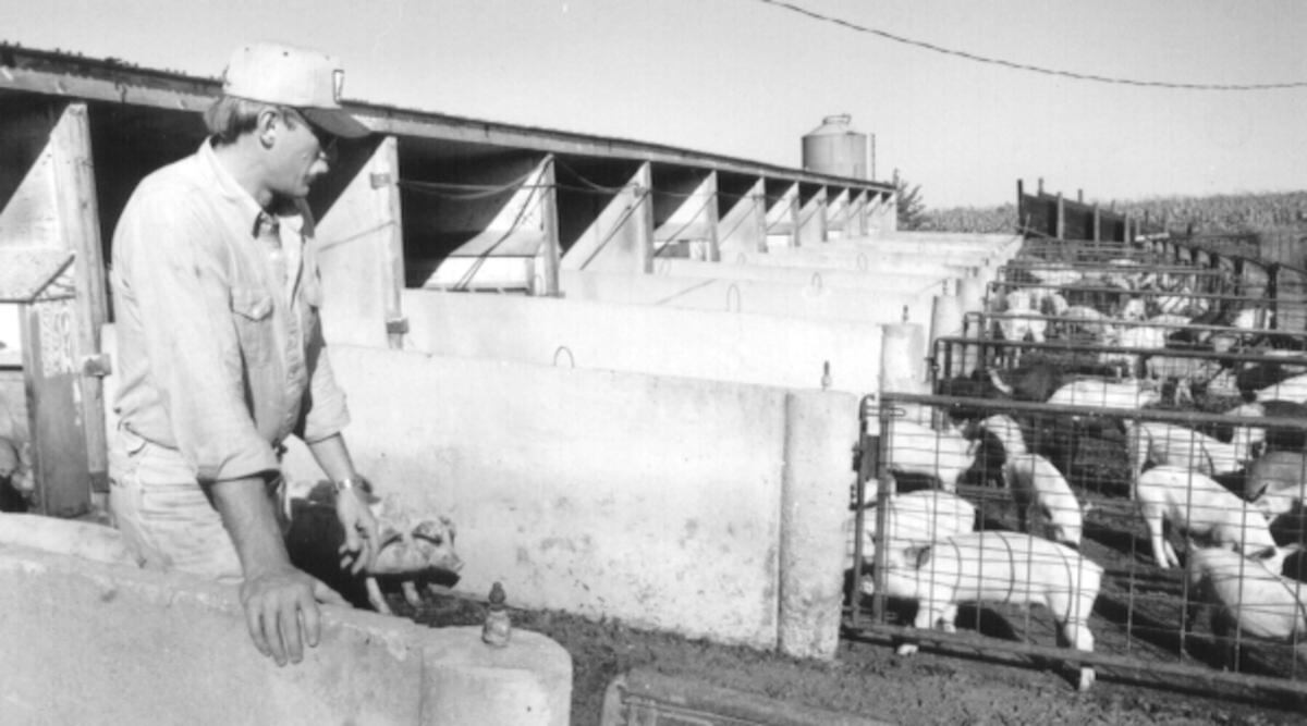 corn-fed market hogs