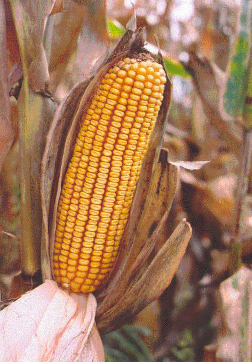 After it has matured, an ear of corn can be stored for long periods of time.