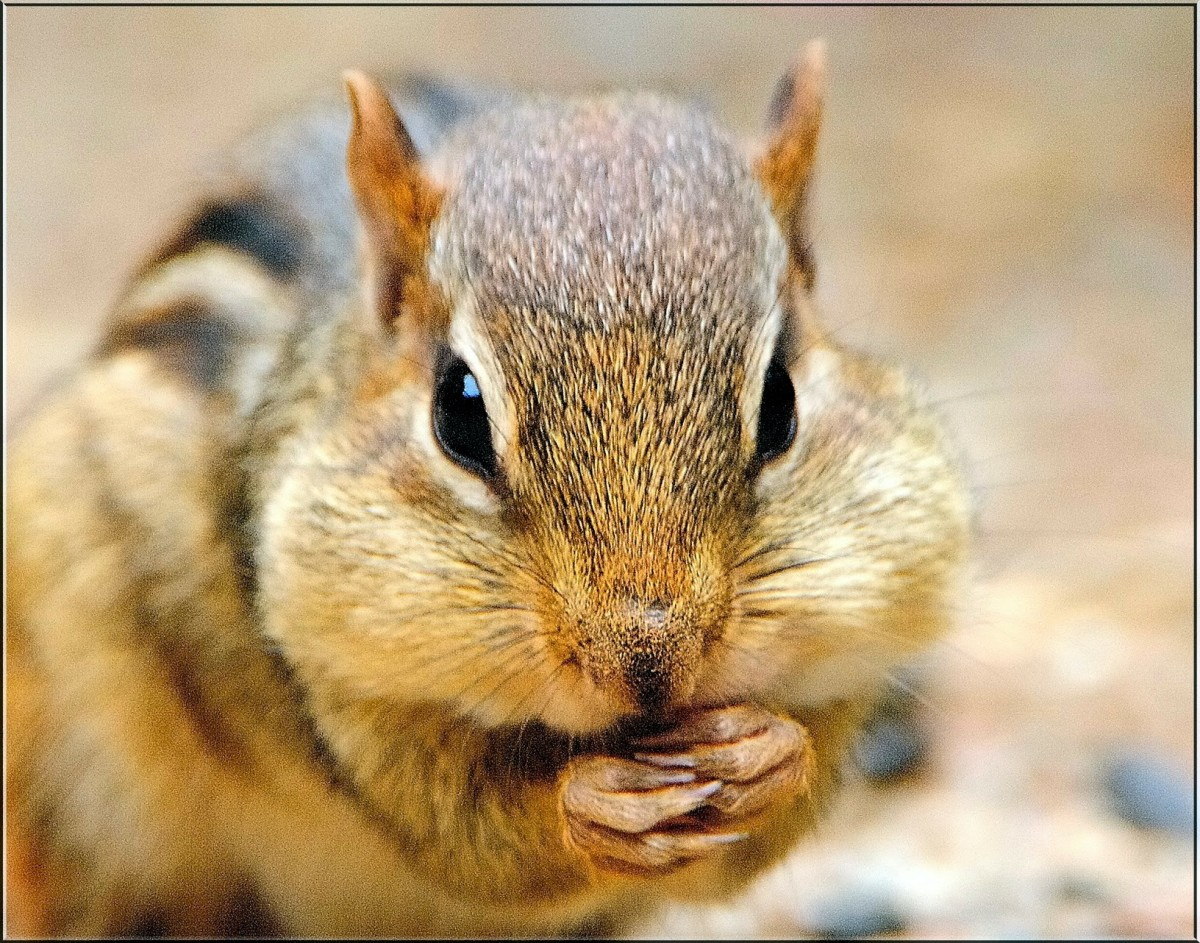 "Chipmunks are very active in the daytime during spring, summer and fall, and remain in their deep burrow systems during the winter, where they enter ""torpor"" (deep sleep and lower body temperature) interrupted only for periods of feeding."