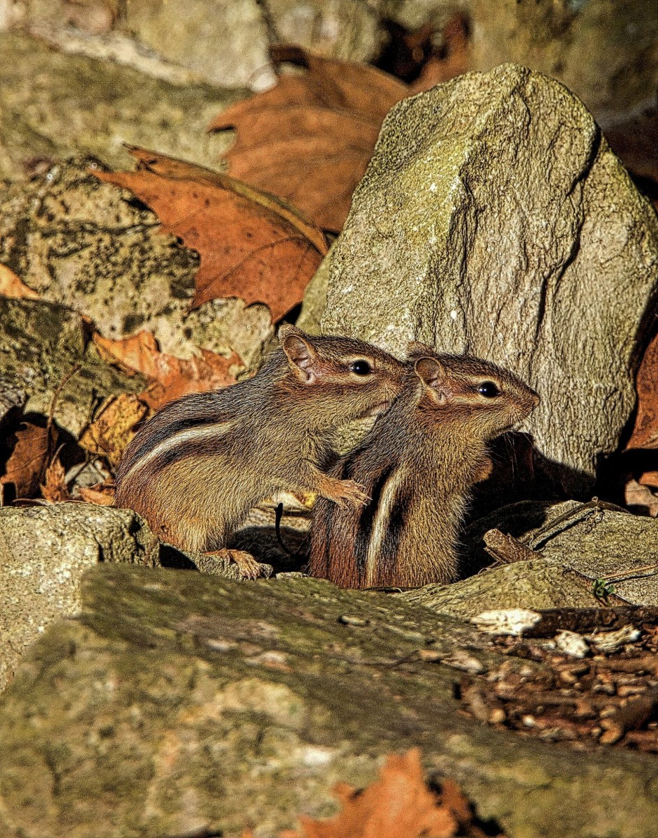 Chipmunks are solitary creatures except in the spring and summer when mating occurs.  They do, however, watch out for each other and notify others of impending dangers by making different sounds.