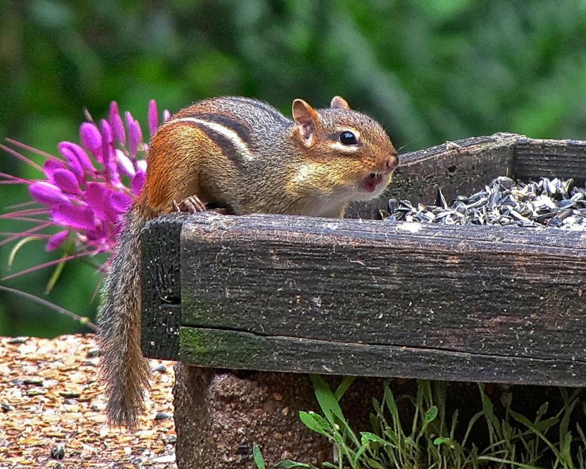 A tiny chipmunk is only up to about eight inches long (and that includes its tail), so it always has to be cautious of any predators that might be in the area.  They still know, however, that they need to gather food for the winter.