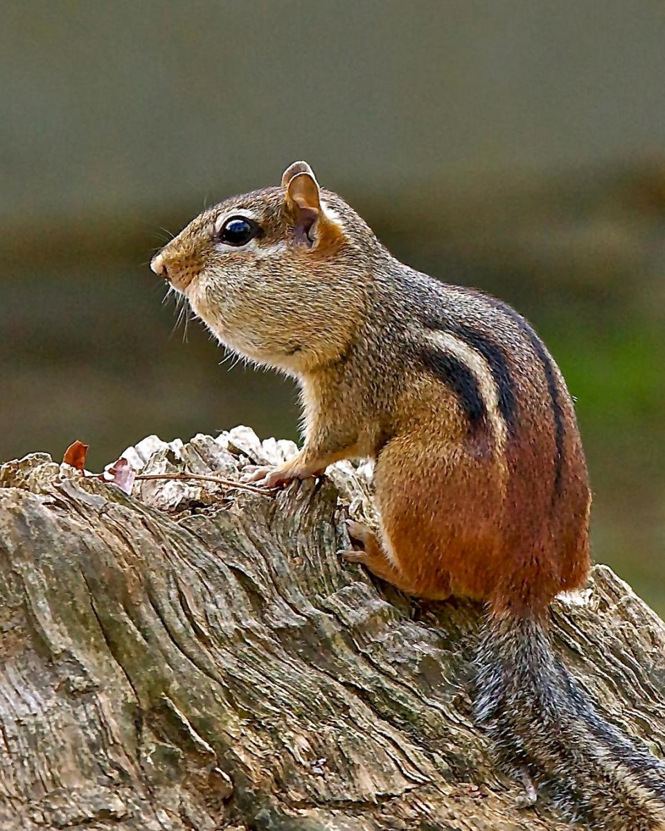 Chipmunks, by storing and scattering seeds, promote the growth of various plants.  Unfortunately, they also prey upon young birds and bird eggs.