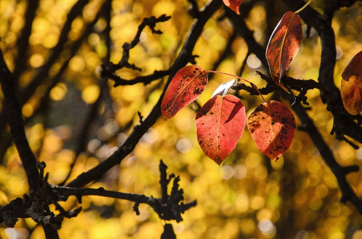 The last leaves of autumn cling on to the branches. An image Shakespeare uses to communicate his impending decay and sense of despair