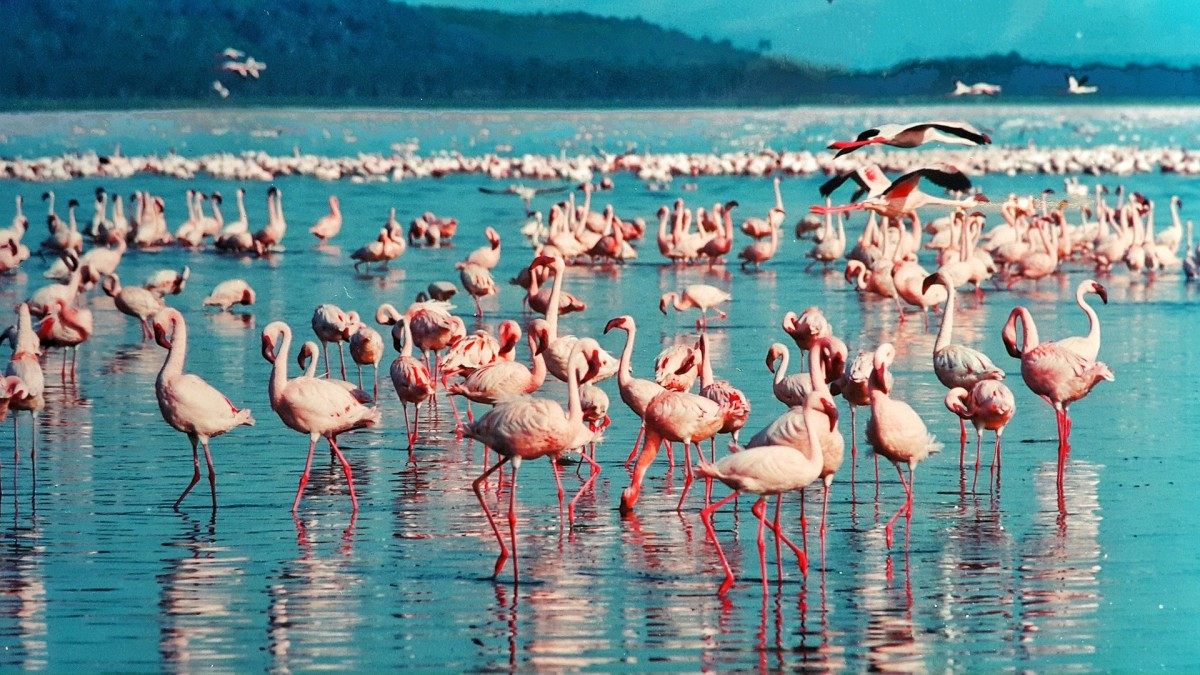 A colony of pink flamingos at Lake Nakuru in Kenya, Africa.