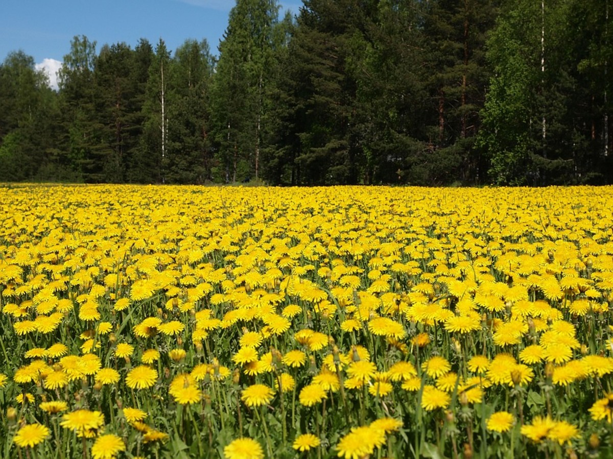 Researchers at Ohio University are studying the use of dandelions for the manufacture of rubber.