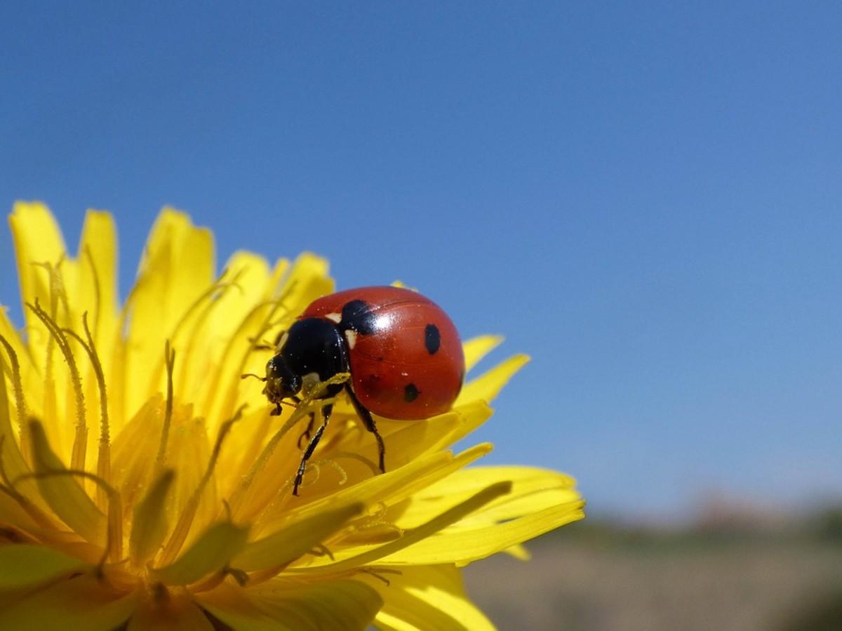 Dandelions pollen is attractive to a diversity of pollinators.