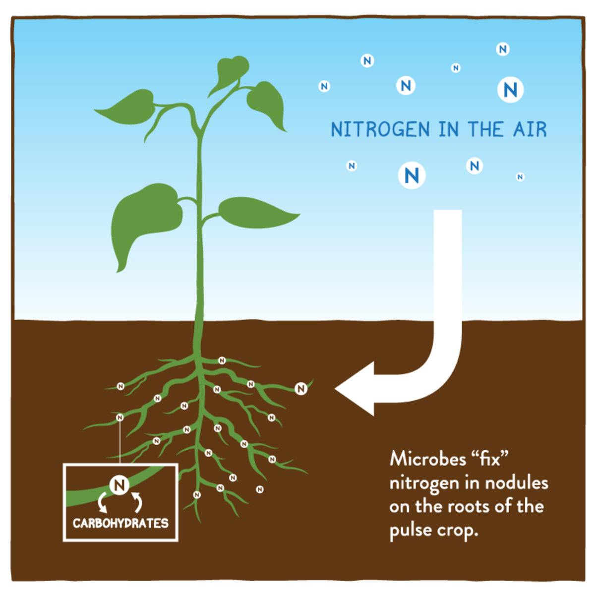 Some plants, like dandelions, in symbiosis with bacteria, capture nitrogen from the air and transform it into bio-available forms
