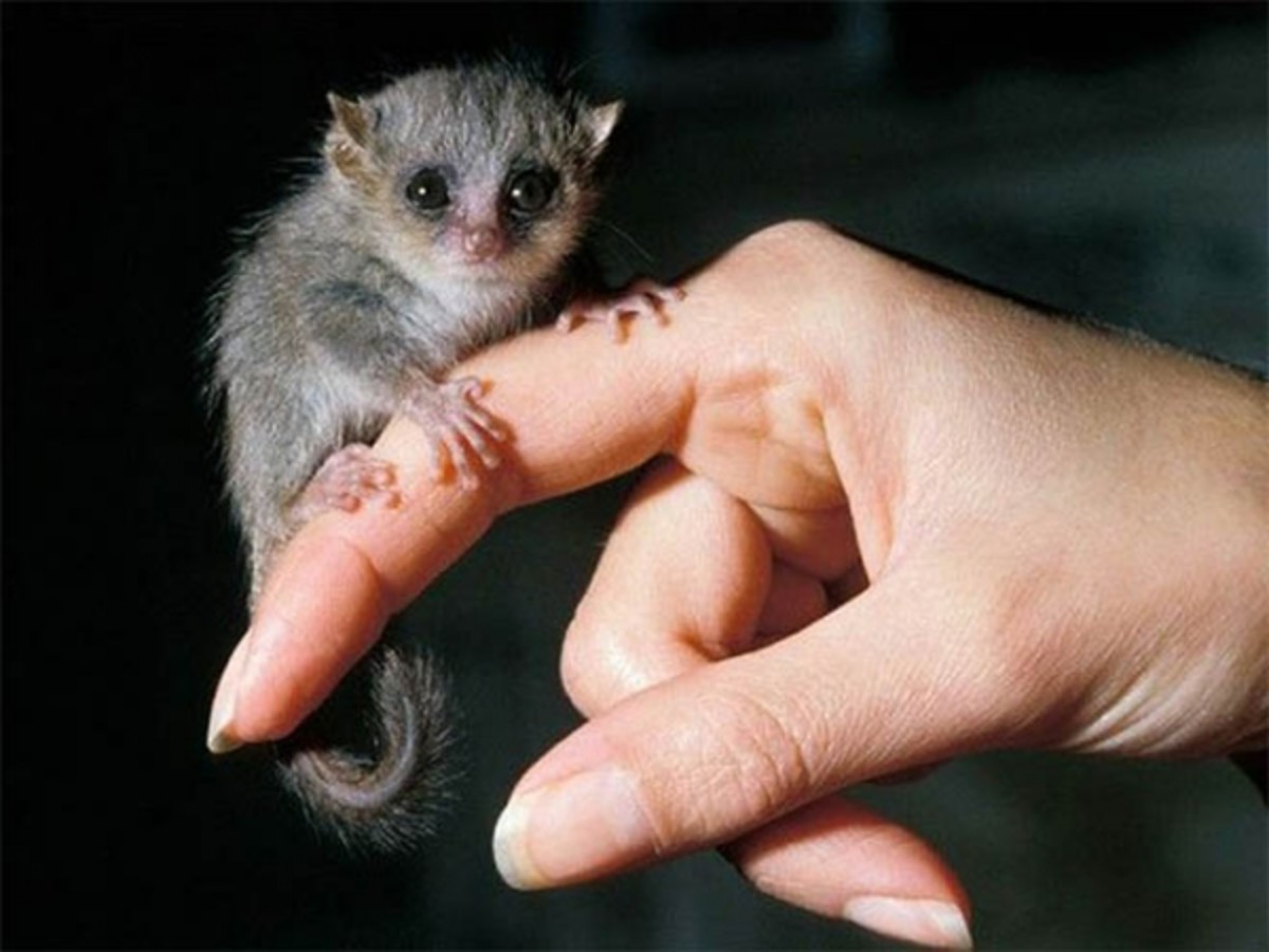 This is a tiny, gray mouse lemur (Microcebus murinus).  According to a recent article on Smithsonian.com, they are under constant pressure due to the continuing loss of their forest habitat, causing stress that is threatening their survival.