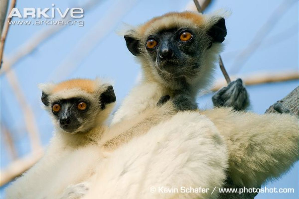 This is the easily-recognizable, endangered golden-crowned sifaka (Propithecus tattersalli) lemur, the smallest of the sifaka species.  Its hairless black face is drawn into a triangular muzzle.  It is also known as Tattersall's sifaka.