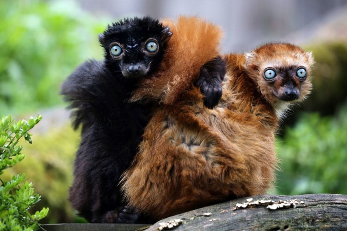 This is a photograph of a male and female,  critically-endangered, blue-eyed black lemur (Eulemur flavifrons), the only non-human primate with blue eyes.