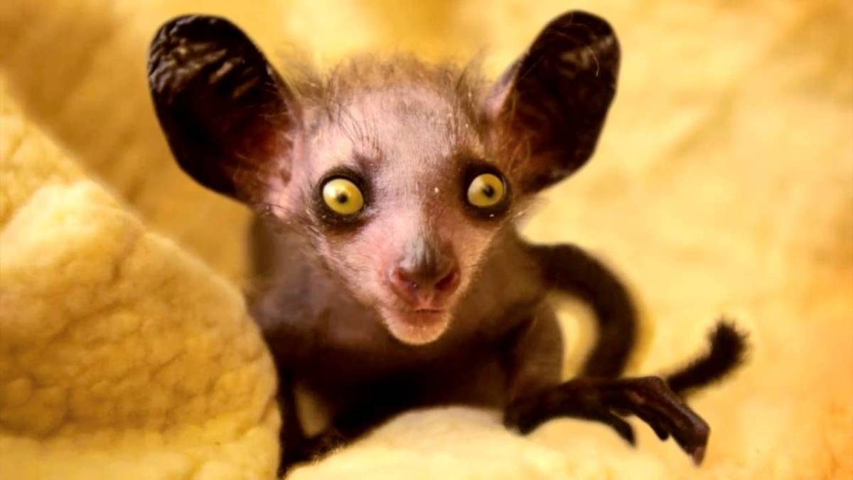 In case you haven't guessed the name of this one - it's called the aye-aye lemur (Daubentonia madagascariensis).  This is the only primate that uses echolocation to find food. They tap, tap, tap with their unique, long middle finger.