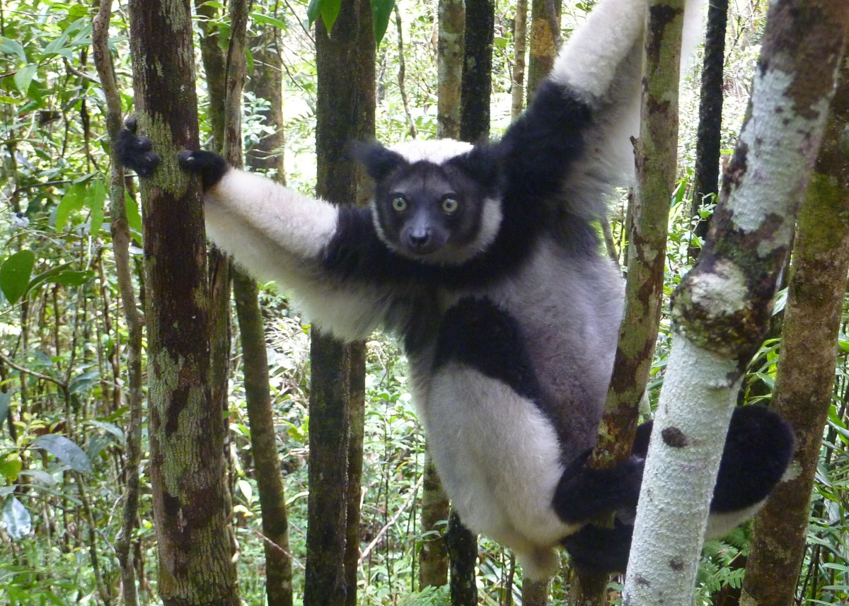 The Indri lemur (scientific name Indri indri) is the largest of the lemurs and is the only lemur with green eyes and no tail.  This photo was taken at the Analamazaotra Reserve in the Andasibe-Mantadia National Park, Madagascar.