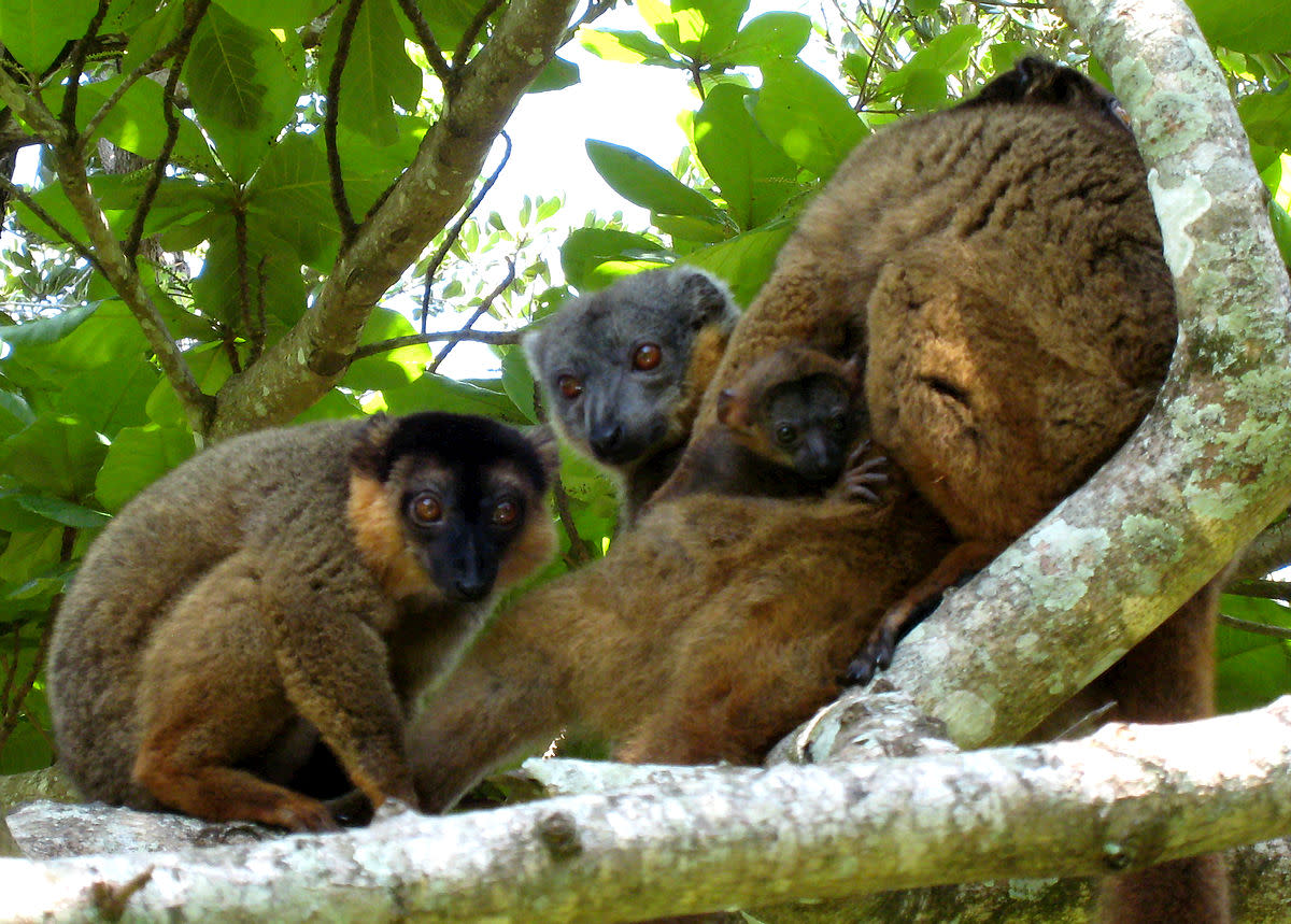 The collared brown lemur (Eulemur collaris) is only one of 12 species of brown lemurs in the world.  A male has different colors of brown and red on top of its head whereas the top of a female's head is only light brown.
