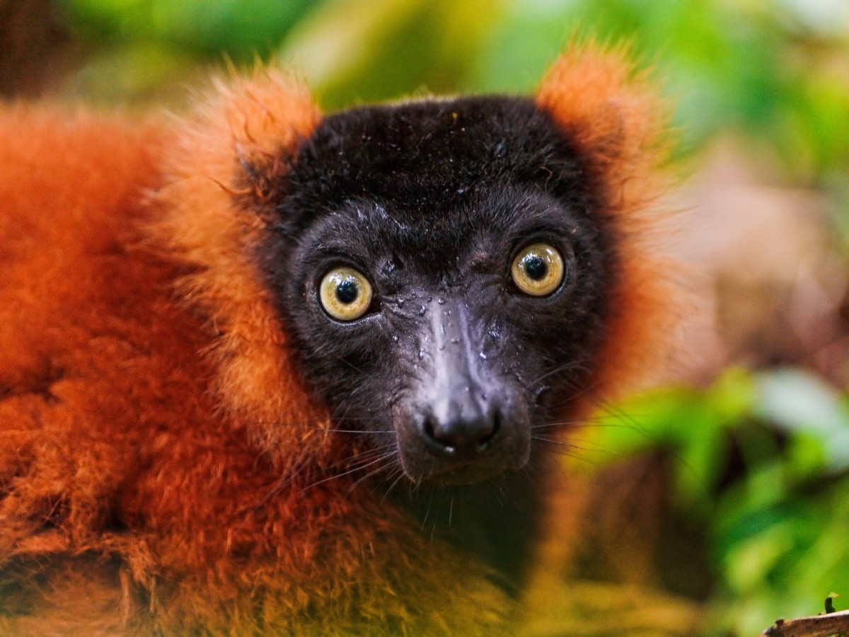 Red-ruffed (Varecia rubra) lemurs, such as the one here, are extremely vocal, having the ability to make about a dozen calls, which are often used to warn other lemurs of potential predators.