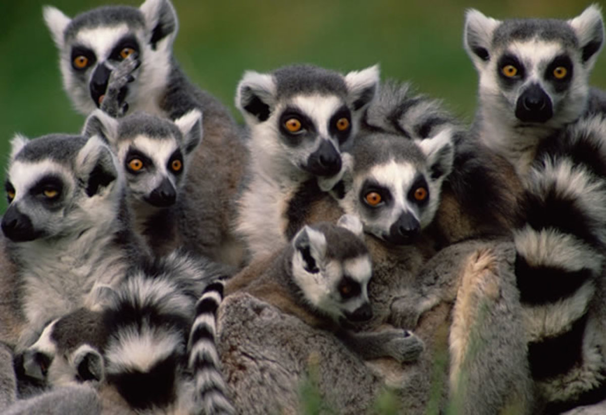 Ring-tailed lemurs (Lemur catta) - you can find some of these cute - yet endangered - primates at the Oakland Zoo in California.