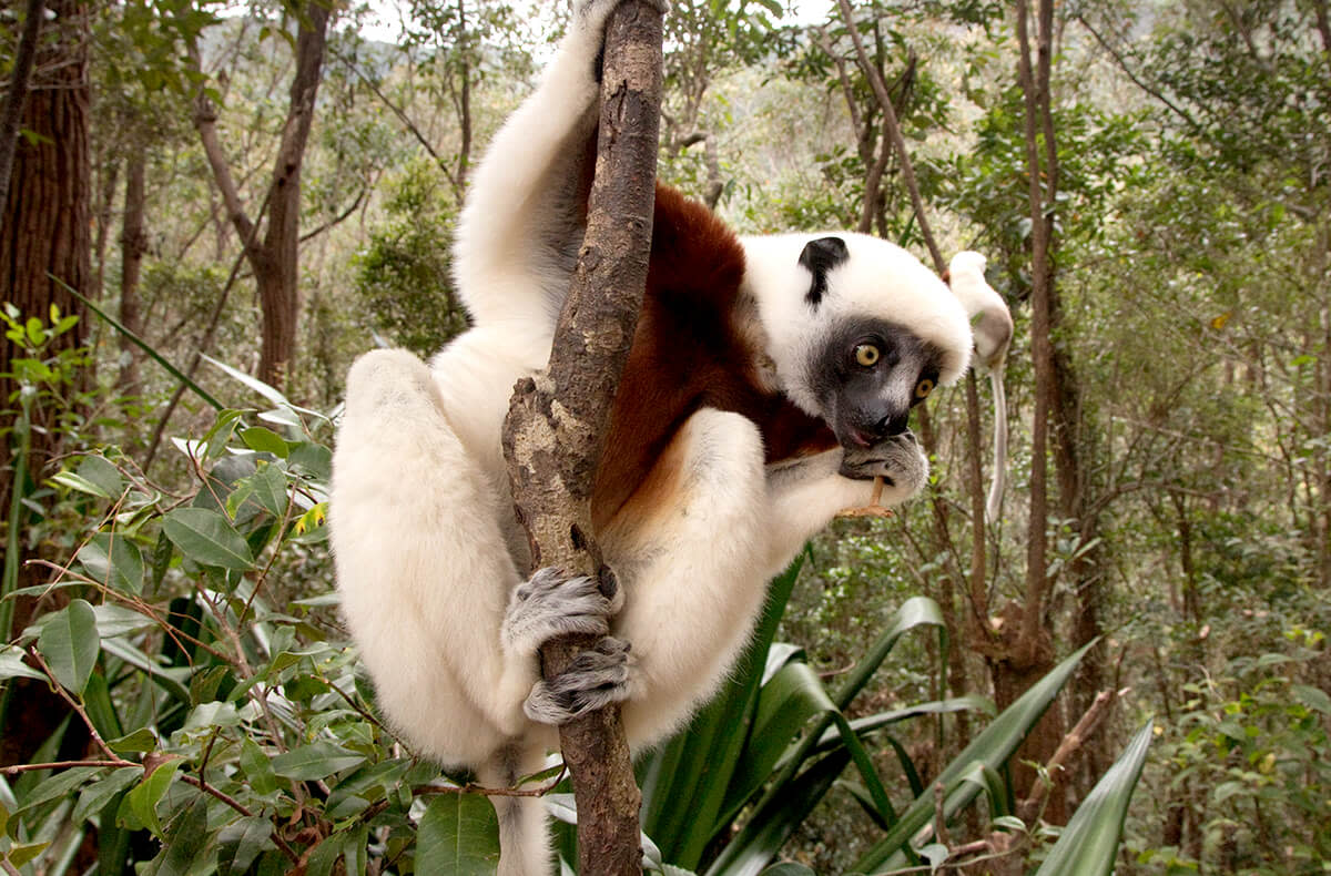 If you visit the San Diego (California) Zoo, you might get a glimpse of a Coquerel's sifaka lemur (Propithecus coquereli) like this one.  These striking guys spring through the trees using the strength of their back legs.
