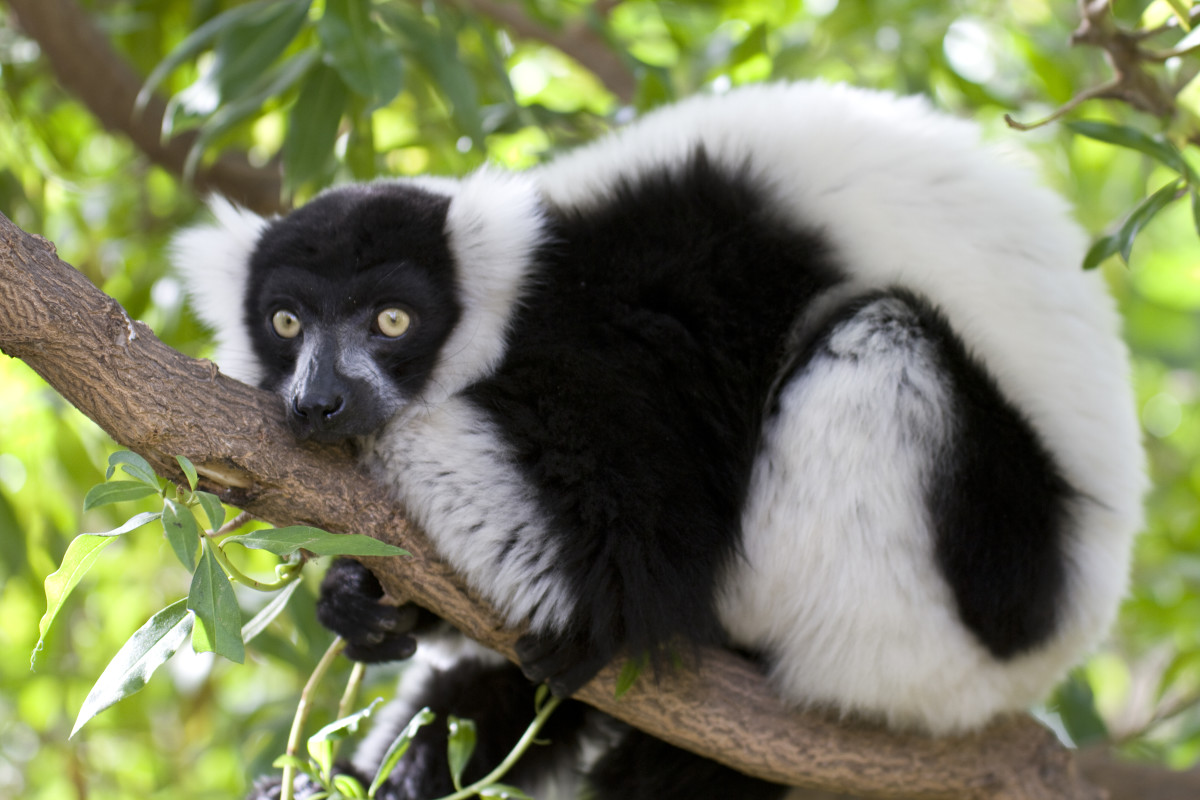 This is a handsome black-and-white ruffed lemur (Varecia variegata).  According to http://www.worldlifeexpectancy.com, this guy has a life expectancy of about 19 years. The tuxedo colors are in stark contrast to its bright yellow eyes.