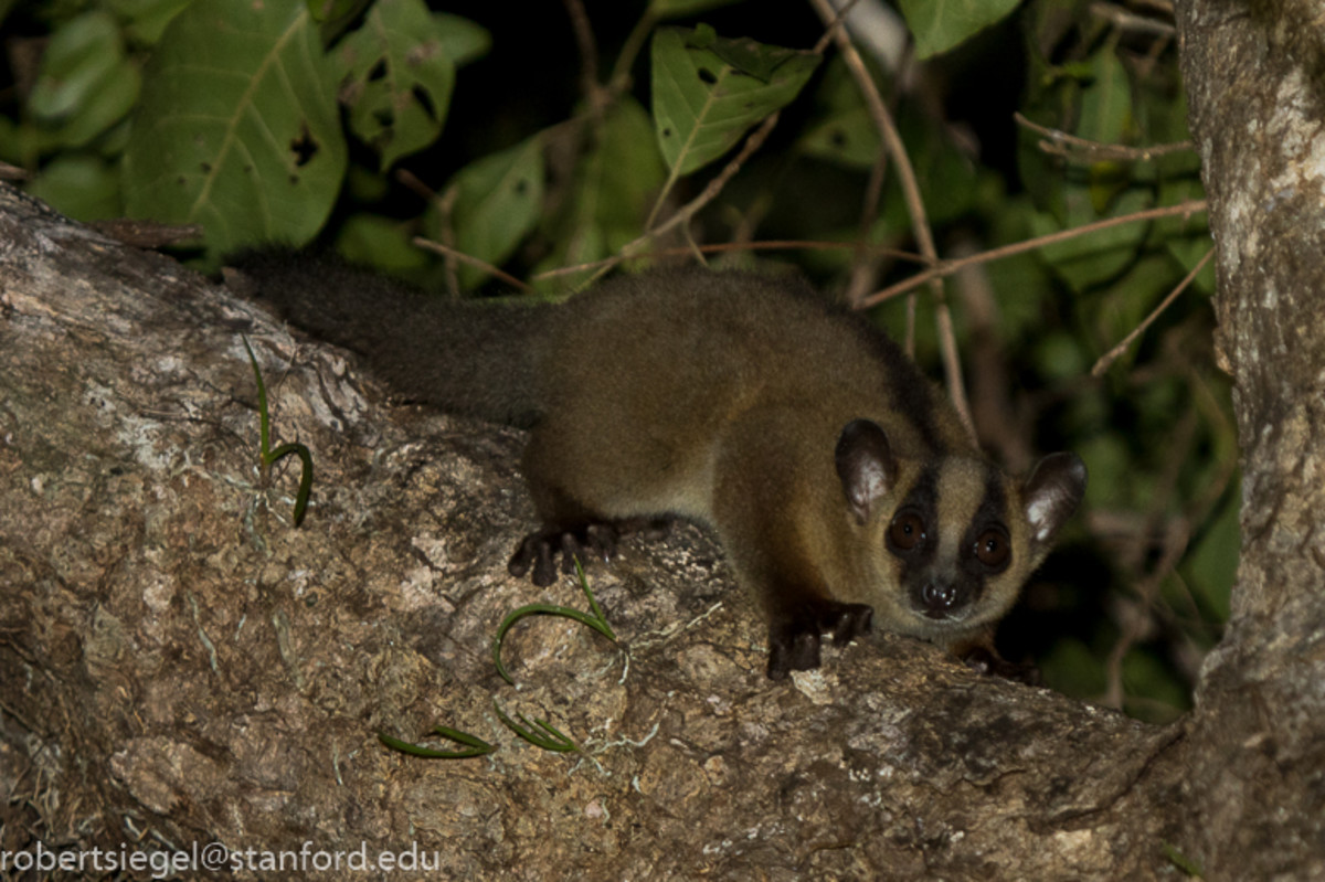 The western fork-marked lemur (Phaner pallescens) was only discovered in 2010.  The photographer that captured this one has some amazing photos of lemur here:  http://web.stanford.edu/~siegelr/animalz/lemur.html#phaner - copy and paste address.