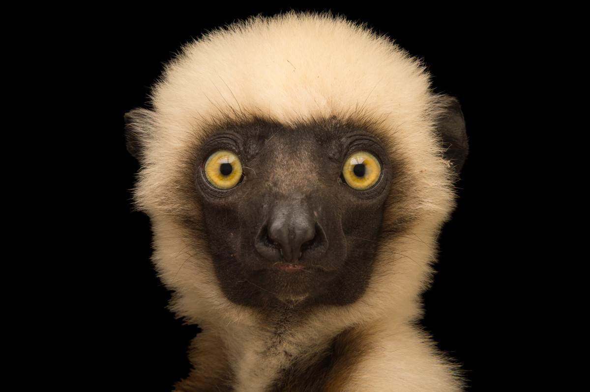This is the face of the extremely rare and endangered Von der Decken's sifaka lemur (Propithecus deckenii).  This stunning photograph was taken by National Geographic photographer Joel Sartore.