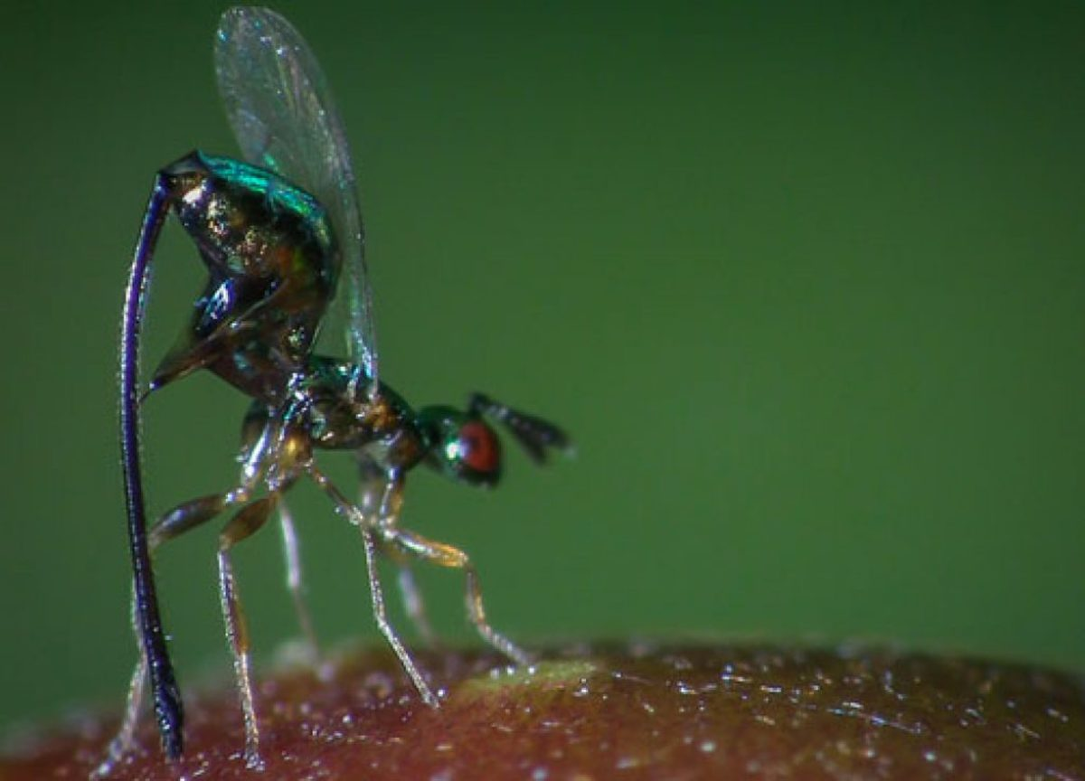 The parasitic fig wasp (Apocryta westwoodi grandi) uses a zinc-hardened and enriched  ovipositor to penetrate tough, unripe figs.