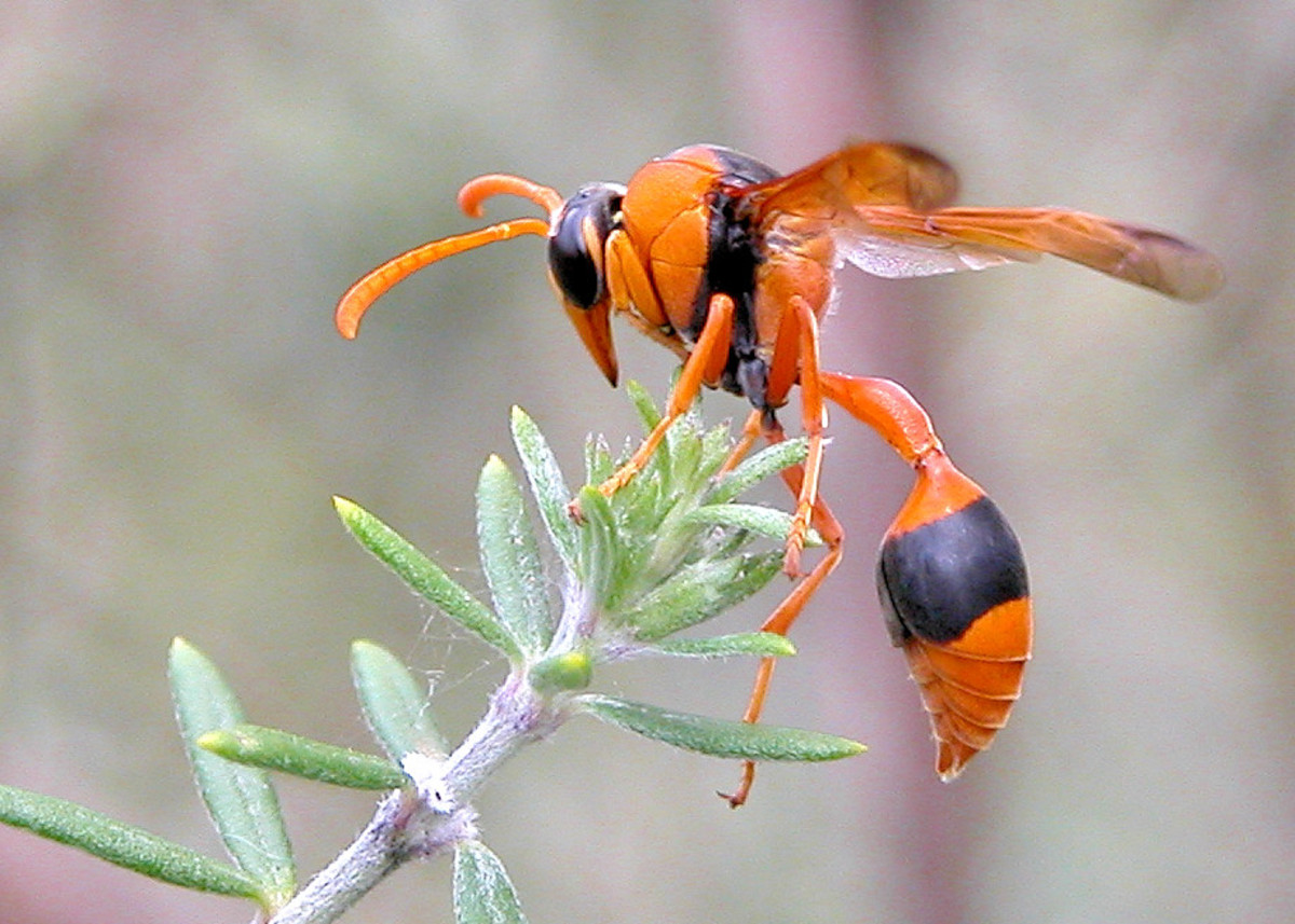 This is an orange potter wasp (Eumenes latreilli).  Wasps have delicate legs, narrow waists and smooth bodies and their sting can cause lots of pain and irritation. And, there's no limit to the number of times they can sting; their stinger stays put.