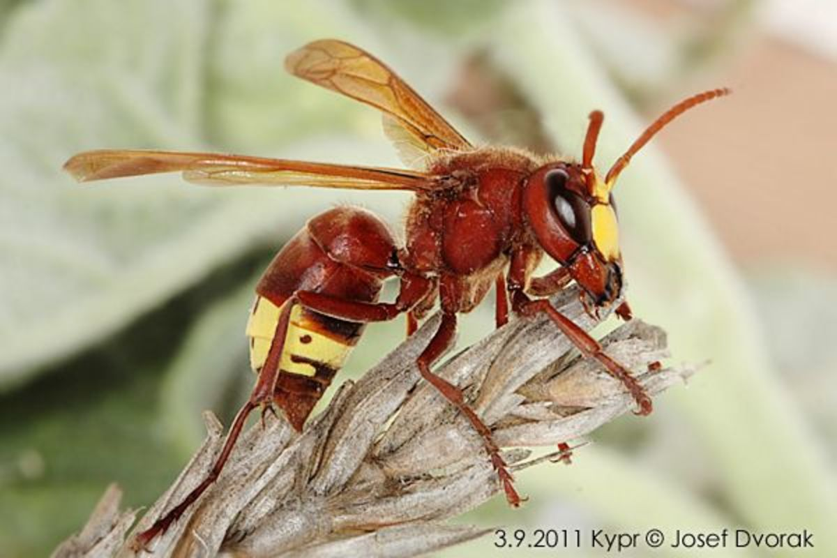 An oriental hornet (Vespa orientalis ) -  found in Southwest Asia, Northeast Africa, the island of Madagascar, Israel and parts of Southern Europe.  This guy's sting is extremely painful and some people are allergic to the sting.