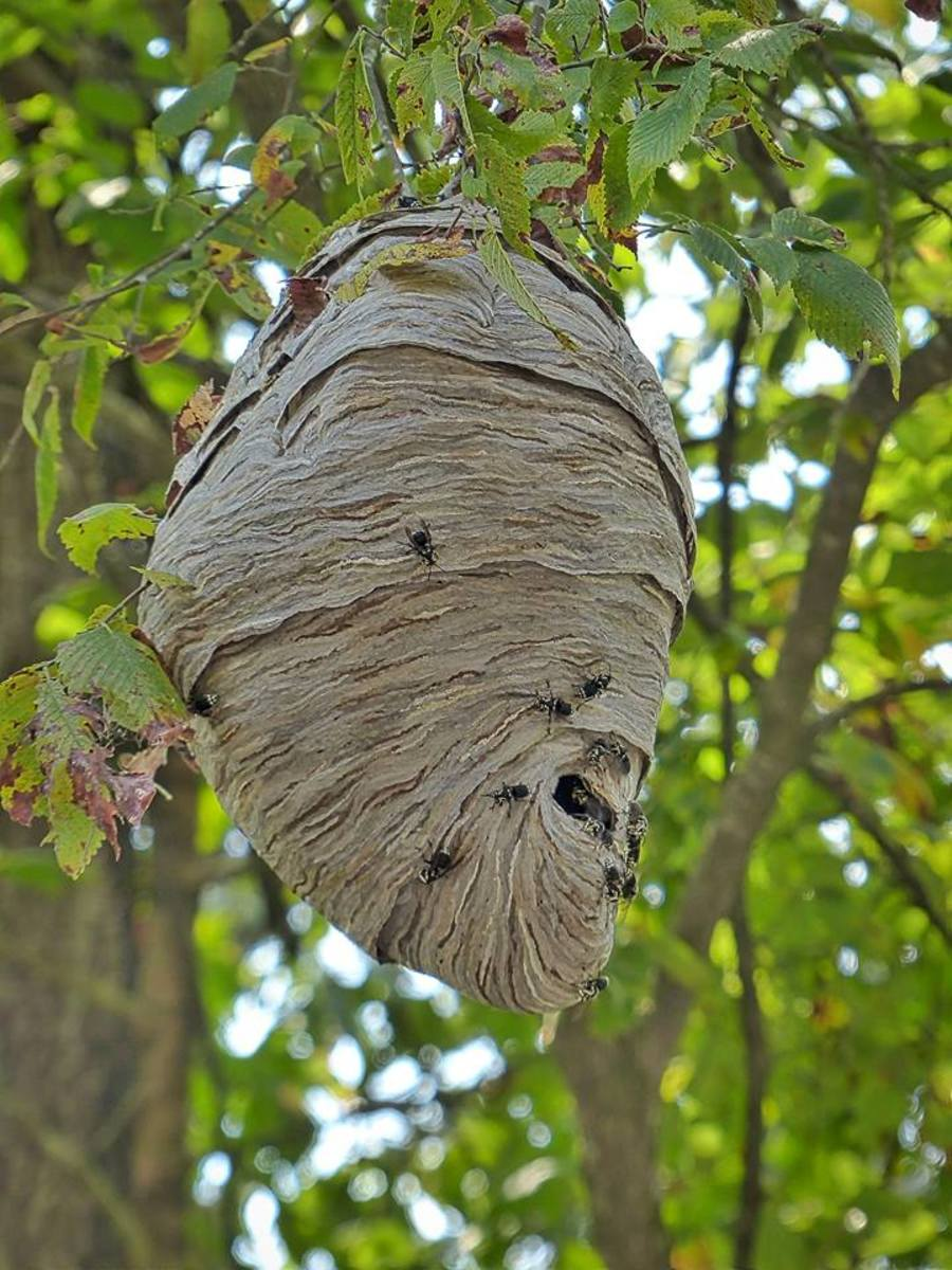 This is a hive full of bald-faced hornets. Hopefully, photos are only made by folks with really long lenses on their cameras, like Larry Jernigan of Heber Springs, Arkansas, one of our favorite wildlife/nature photographers.