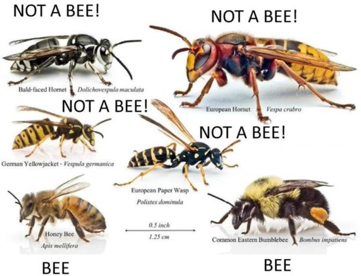 This is a great chart for noting the differences between bees, hornets and wasps.