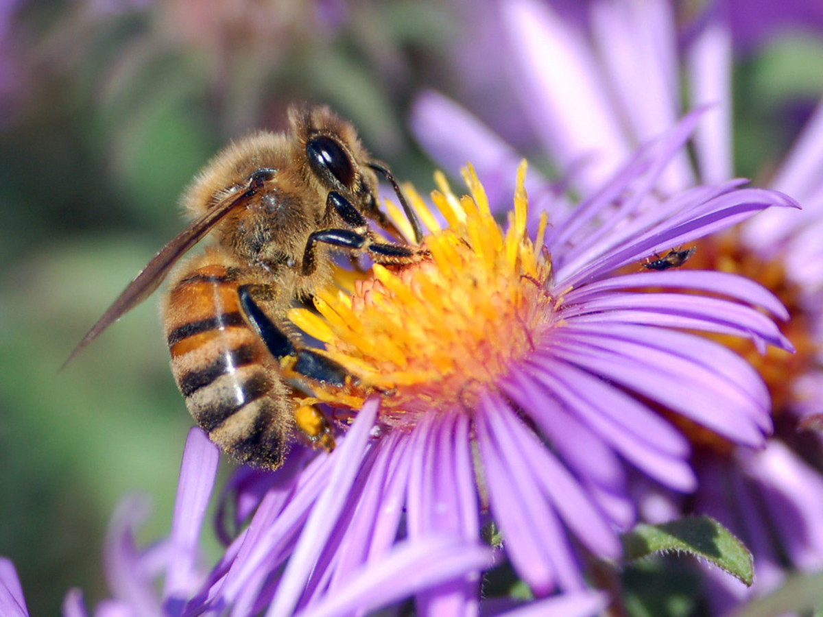 Honey bees are important pollinators of fruits, vegetables and flowers and it won't sting you unless provoked, so please don't provoke it.  These bees can only sting one time, then die, and our environment can't afford to lose them.