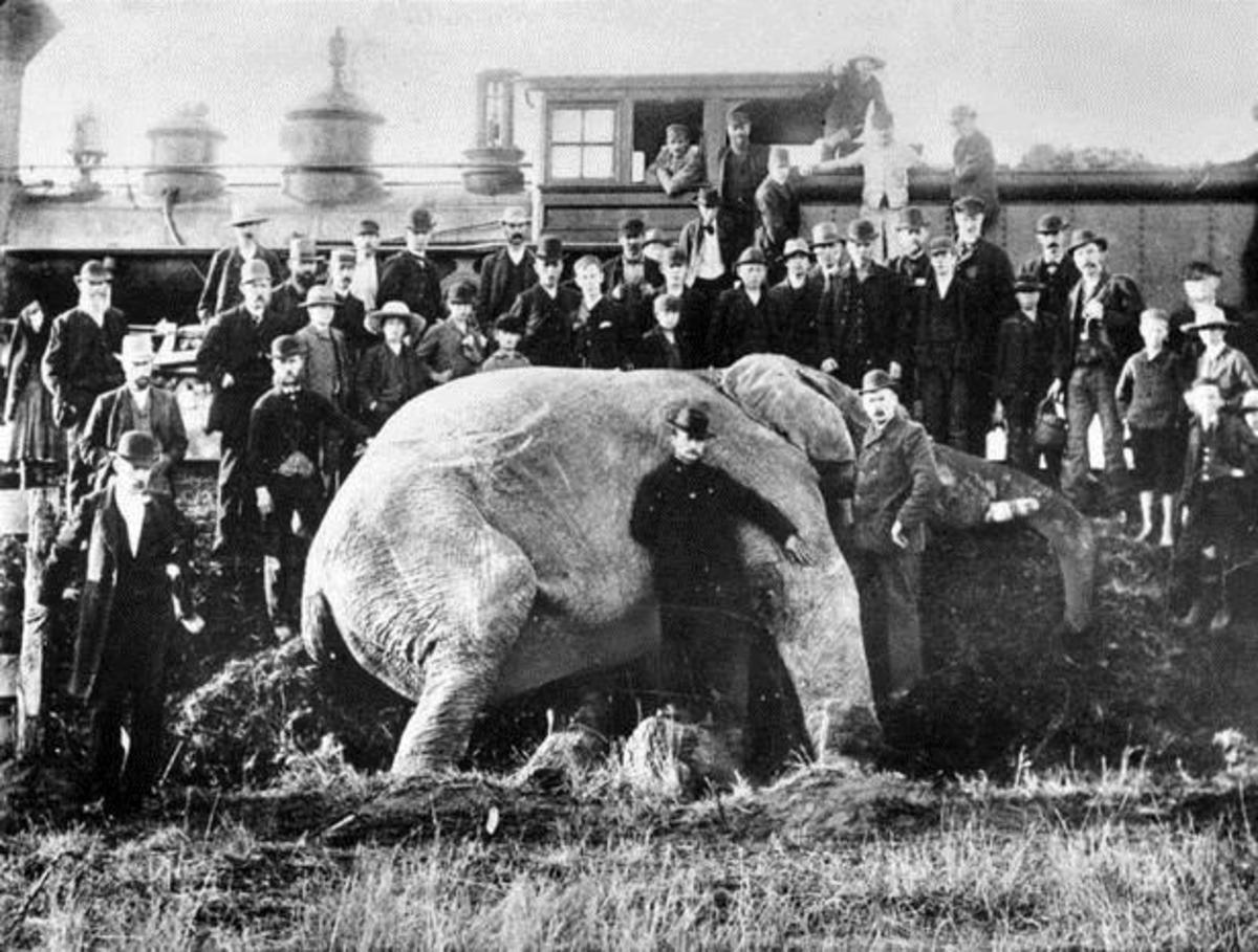 Jumbo's last indignity as a ghoulish crowd gathers to be photographed with his corpse.