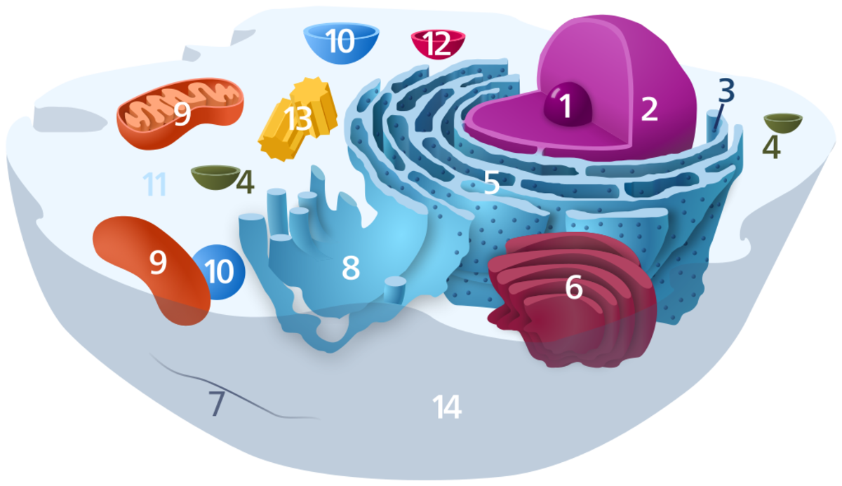Item 5 is the rough endoplasmic reticulum, which processes proteins. The ribosomes on the surface make proteins.