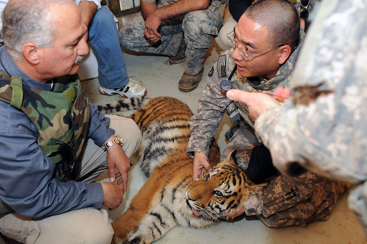 This tiger cub was one of the animals Lawrence Anthony helped rescue in Iraq.