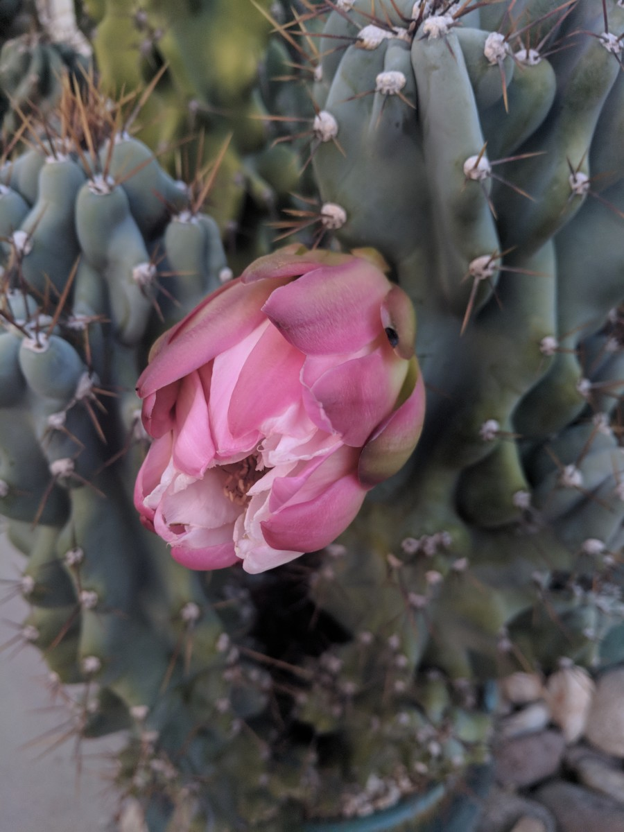 Bud on stem of Monstrose Apple Cactus appears to be ready to burst into bloom