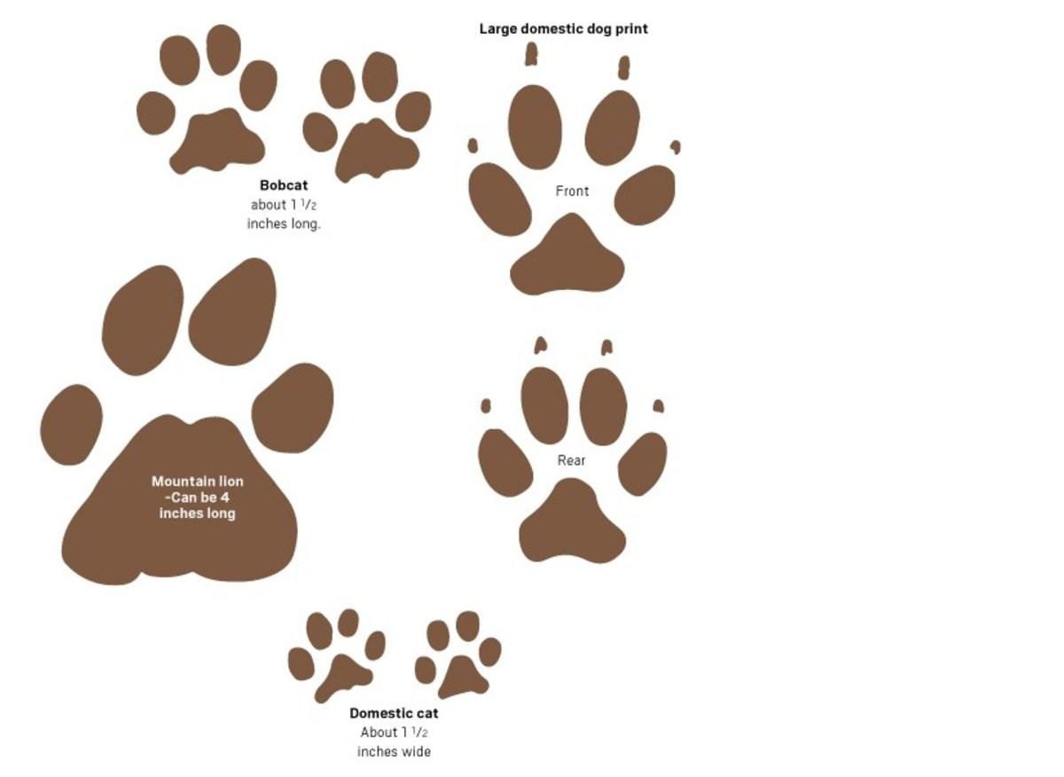Mountain lion tracks.